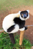 The black-and-white ruffed lemur Stock Images