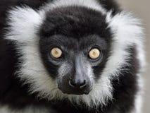 Black and white ruffed Lemur (Varecia variegata) Stock Photo