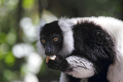 Black-and-white Ruffed Lemur (Varecia variegata). Eating Stock Photos