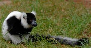 Black-and-white ruffed lemur. (Varecia variegata Stock Photo