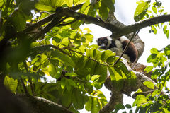 Black-and-white ruffed lemur Varecia variegata, Madagascar Stock Photos