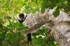 Black-and-white ruffed lemur Varecia variegata, Madagascar Stock Photography