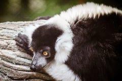 Black and white ruffed lemur (Varecia variegata) Stock Image