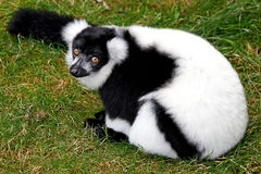 Black and White Ruffed Lemur (Varecia variegata). Black and White Ruffed Lemur sitting on grass Royalty Free Stock Images
