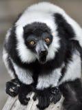 Black and white ruffed Lemur (Varecia variegata) Royalty Free Stock Photos