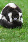 Black and white ruffed lemur(Varecia veriegata) Royalty Free Stock Photo