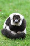 Black and white ruffed lemur(Varecia veriegata) Stock Image