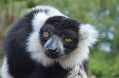 Black and white ruffed lemur vari. Looking unhappy royalty free stock photography