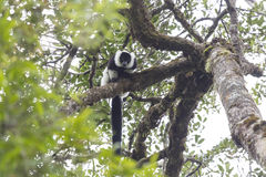 Black and white ruffed sifaka lemur on a tree Stock Photo