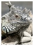 Black And White, Saurian, Animal Royalty Free Stock Image