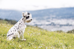 Black and White Schnauzer / Dalmatian dog Stock Images