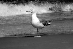 Black and white seagull. On the Baltic beach, Poland royalty free stock images