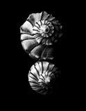 Black and white seashell background Royalty Free Stock Photo
