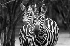 Black&White sebra Royaltyfri Foto