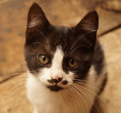 Black and white serious kitten Royalty Free Stock Images