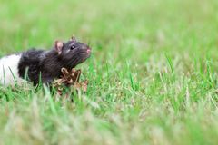 Black and white sewer rat outside Royalty Free Stock Image