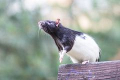 Black and white sewer rat outside Stock Image
