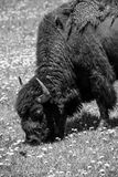 Black and White Shedding Bison Royalty Free Stock Photo