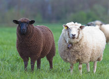 Black and white sheep. On pasture concept for good and bad constrast racism multi ethnic races cultures skin color sin innocence popular outcast Stock Image