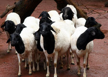 Black and white sheep. Flock of sheep - an african race Royalty Free Stock Photo