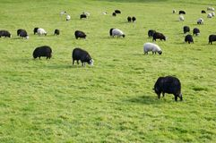Black and white sheep Stock Image