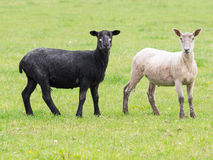 Black and white sheep. After being sheared royalty free stock images