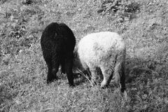 Black and white sheep. Eating grass stock photography