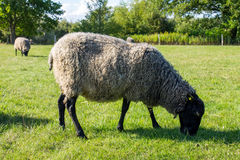 Black white sheep eating grass in green field. Black white sheep eating green grass in green field against background of forest Royalty Free Stock Photography