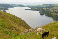 Black and white sheep with elevated view of Ullswater Lake District Cumbria England UK Royalty Free Stock Images