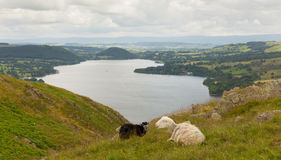 Black and white sheep with elevated view of Ullswater Lake District Cumbria England UK Stock Images
