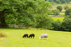Black and white sheep in field Seatoller Borrowdale Valley Lake District Cumbria England UK Royalty Free Stock Images
