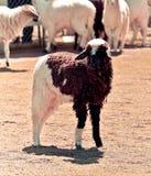 Black white Sheep Stock Image