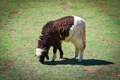 Black white Sheep Stock Photo