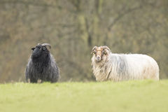 Black and white sheep Stock Images