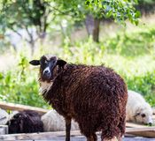 Sheep on sheep farm Stock Image