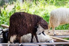 Sheep on sheep farm Stock Photo