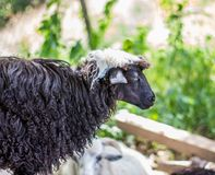 Sheep on sheep farm Royalty Free Stock Photos