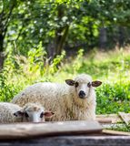 Sheep on sheep farm Royalty Free Stock Photo