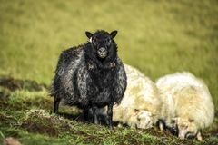 Black and white sheep grazing on a pasture in Iceland on a sunny Royalty Free Stock Photography