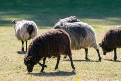 Black and white, and brown sheep on a green pasture stock images