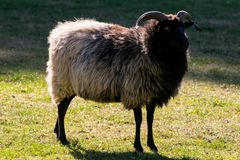 Black and white, and brown sheep on a green pasture royalty free stock photo