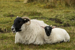 Black and White Sheep with lamb Royalty Free Stock Image