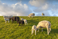 Black and white sheep with lambs Stock Image