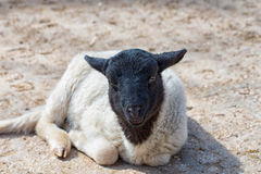 Black and white sheep is lying in the sun and enjoys the warmth Royalty Free Stock Photography