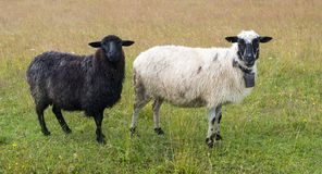 Black and white sheep Royalty Free Stock Photos