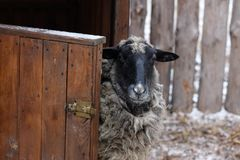 Black and white sheep near the barn royalty free stock photo