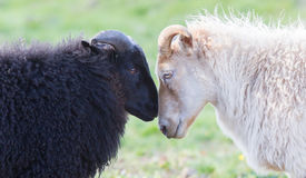 Black and white sheep on pasture -  Concent of love Stock Photo