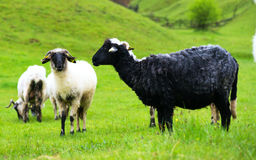 Black and white sheep on pasture Royalty Free Stock Photography