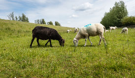 Black and white sheep peacefully together grazing Stock Photos