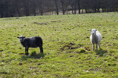 Black and white sheep Royalty Free Stock Photo